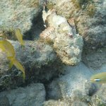 Scorpion fish off the Blue Bahia Pier