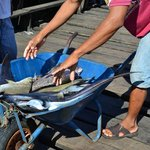 Mantaray , baby shark, stingray etc  - caught and sold in the market like potatoes!