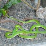Vine snake on display behind glass