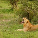 Ranger Fred finds us a young male lion from his favorite pride