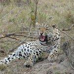 El leopardo se enfada