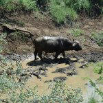 a buffalo underneath our pool deck in the river