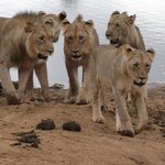 the lions decide to stay on this side of the river