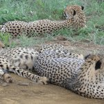 watching the cheetah brothers