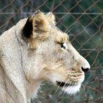 Miss Lioness
