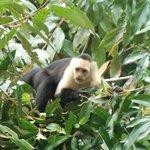 White face monkey outside the restaurant