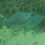 Filefish seen snorkelling at resort
