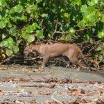 Puma Corcovado National Park
