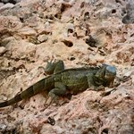 The Iguana are found throughout the island