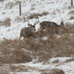 Mule Deer out the Cabin Window