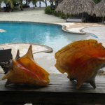 conch shells we caught