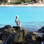 Pelican at Scott Beach