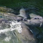 Up Close with the manatees Sun 1-19-14