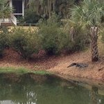 Mr. Alligator was taking a nap on the bank of the lagoon.