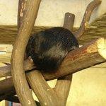 Sleeping binturong