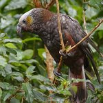 Kākā sitting on tree branch