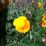 California state flower