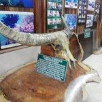 Skeleton Of Buffalo