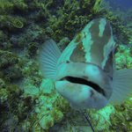 Grouper that loves divers