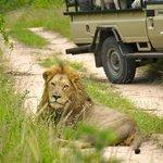 Lion siting