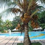 Coqueiro na área da piscina