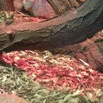 The Dumeril's Monitor is a rare lizard in American zoos.