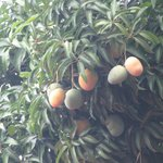 The mango fruits and trees are everywhere.