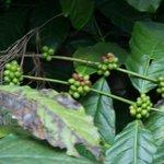 Coffee berries - coffee plantation estate