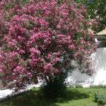 Цветущий куст во дворе музея