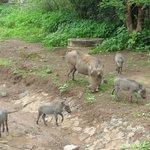 Wild hogs roam around Kasane