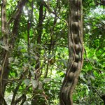 Monkey Vine