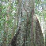 Nutmeg Tree