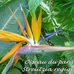 Strelitzia reginiae - Oiseau du paradis - Jardin aux Papillons