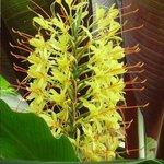 Hedychium gardnerianum - Jardin aux Papillons