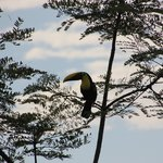 toucan from our balcony