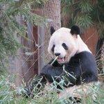 Male Giant Panda Tian Tian