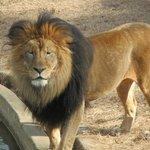 Male Lion Luke