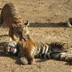 The Tiger Cubs!