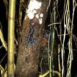 una de las tantas tarantulas que encontramos en la caminata de noche