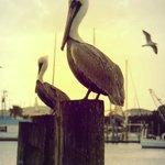 Pelicans sitting on our dock Pilon