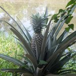 Pineapple plants in the gardens