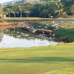 Egrets and Wood Storks around green on Hole #17