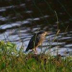 fisherman's friend ... oder der Mangrovenreiher