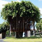 der prächtige Banyanbaum begrüsst die Sugar Beach Gäste