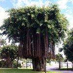 er ist so prachtvoll - der hoteleigene Banyanbaum, dass er 2 mal hier sein darf ;-)