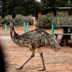 Emu and kangaroos at main camp