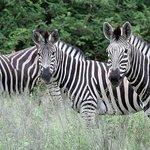 A trio of zebras