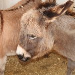 Coco the miniature donkey