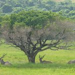 Kudu's in the park