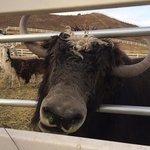 A buffalo (I think)?